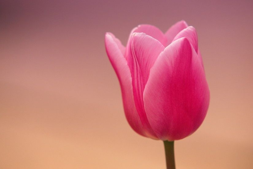 Beautiful Tulip Wallpaper 45391