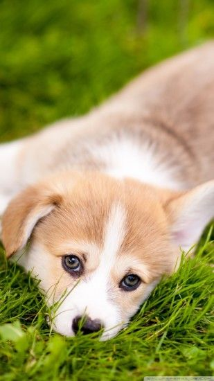 Free Lazy Pembroke Welsh Corgi Puppy phone wallpaper by twsaddler