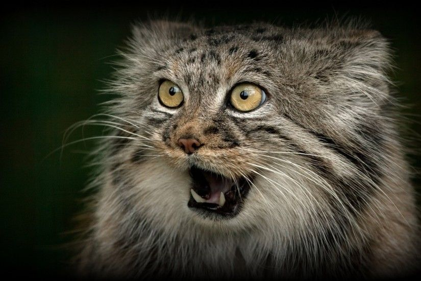manual wild cat predator face fall fangs © ania jones