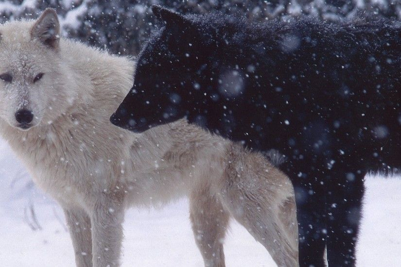 1920x1080 Wallpaper wolves, pair, predator, snow, dogs