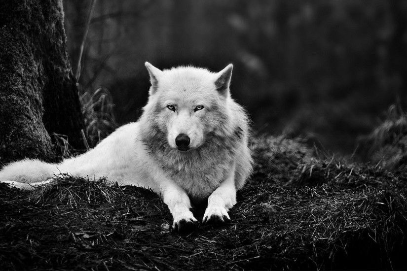 Wolf Wallpapers Wallpaper 1920×1080 Wolves HD Wallpapers (45 Wallpapers) |  Adorable Wallpapers
