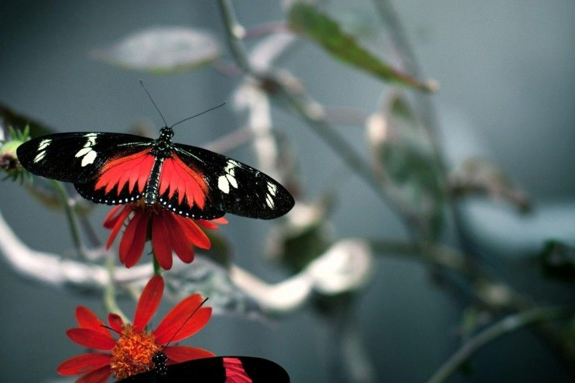 Red Black Butterfly