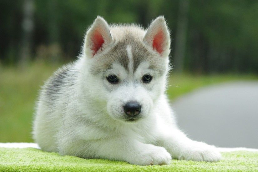 12.16.15, Cute Puppy Wallpapers - for PC & Mac, Laptop, Tablet
