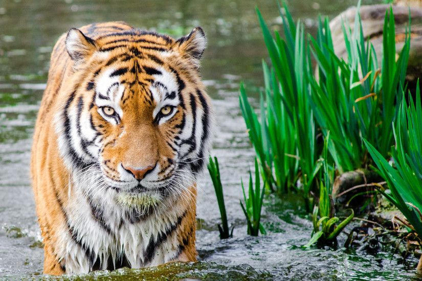Tiger in Water HD