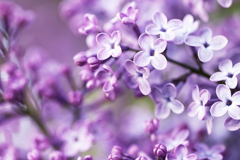 Purple Spring Flowers Wallpapers