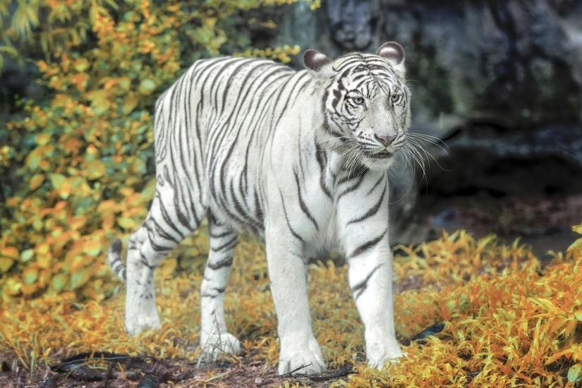 White Tiger Wallpaper White Tiger Wallpaper White Tiger Wallpaper ...