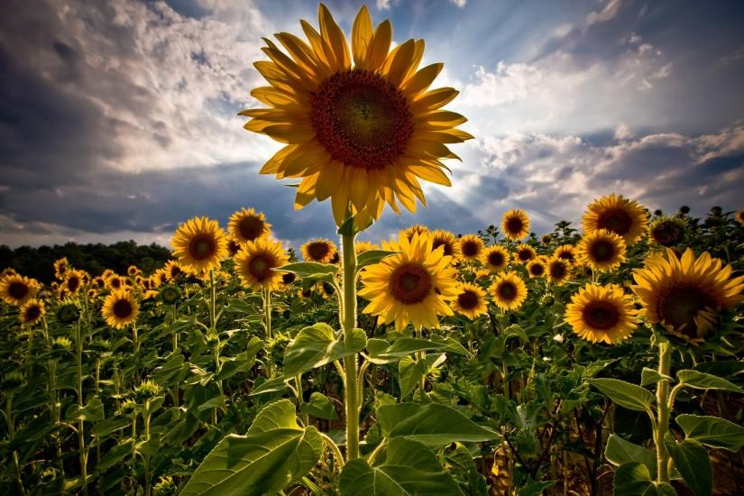 sunflower wallpaper 2560x1600 for android 40