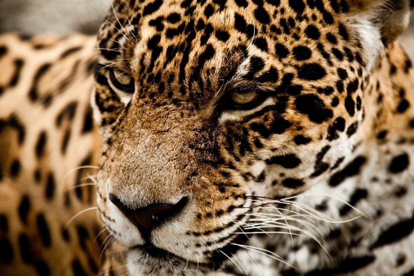 Animals Jaguar Cat Wallpaper