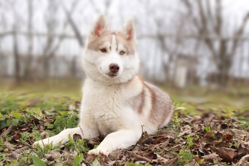 White Siberian Husky in the yard
