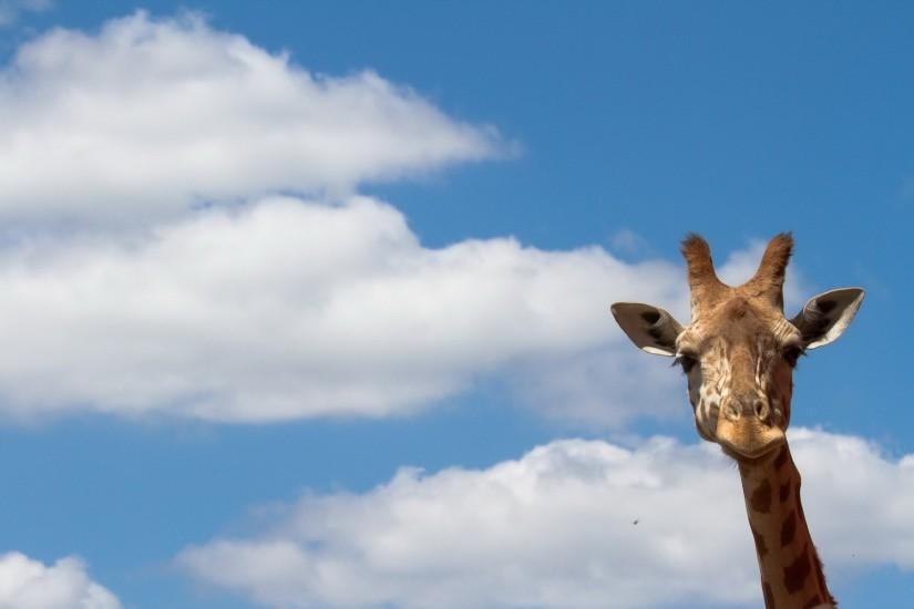 Heavenly Giraffe. Heavenly Giraffe Desktop Background