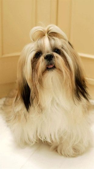 Shih Tzu Dog Galaxy Note 3 Wallpapers, HD, Note Wallpapers, Galaxy .