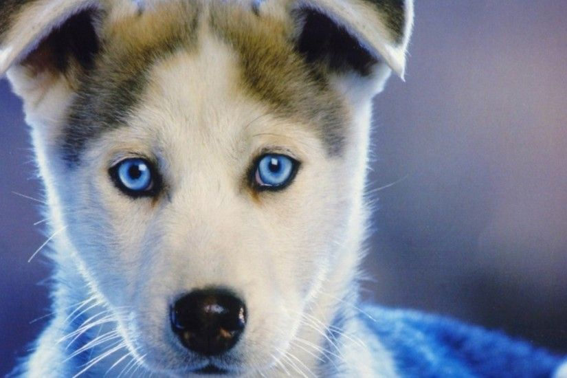 Preview wallpaper husky, puppy, blue-eyed, baby 1920x1080