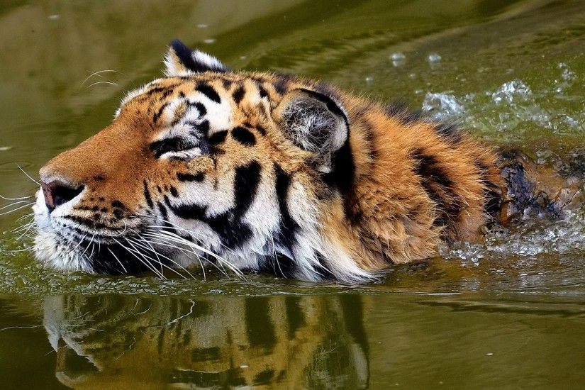 tiger, face, water
