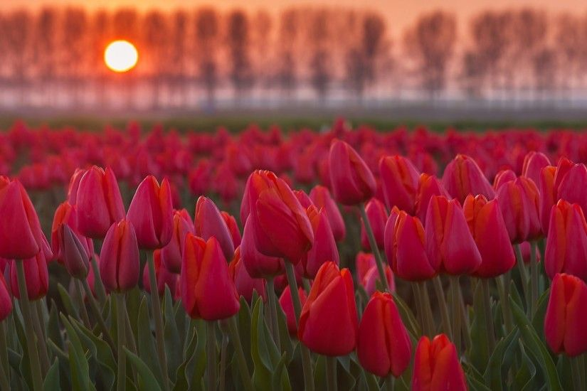 Tulip flowers garden and sunset nice wallpapers