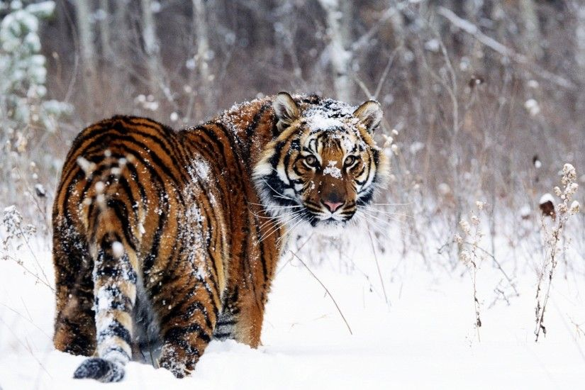 ... Snow Tiger Pictures - HD Images and Wallpapers - of 4 · Siberian ...