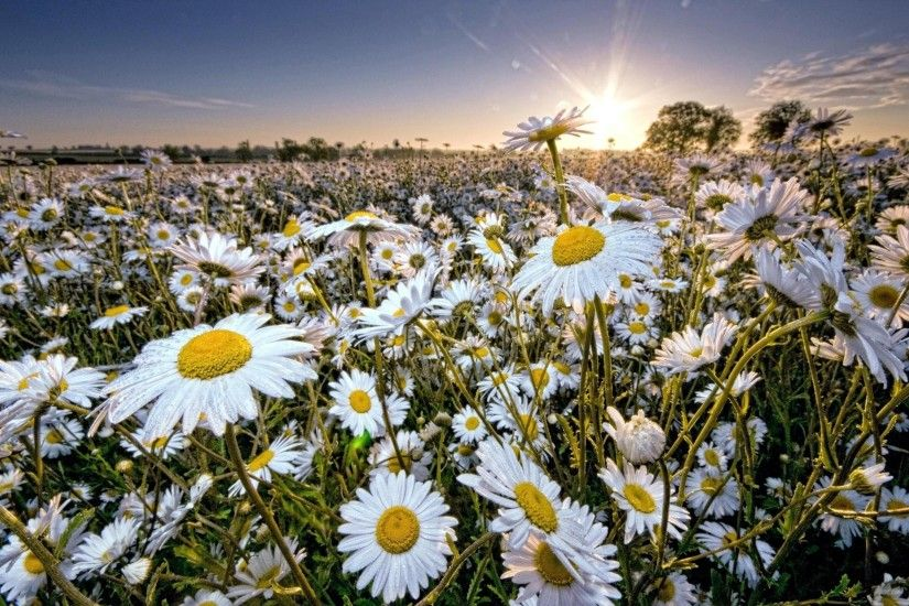 2600x1580 Wallpaper daisy, field, sun, rays, sky