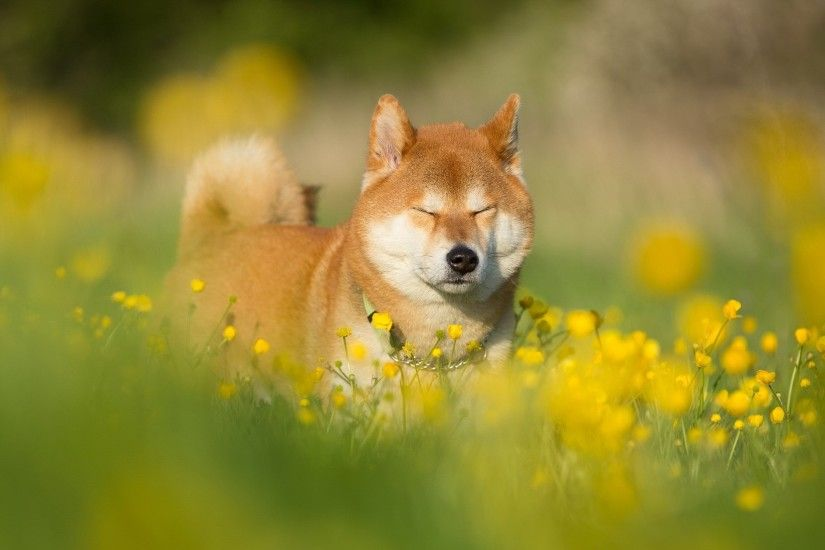 widescreen backgrounds shiba inu, 1999x1257 (355 kB)