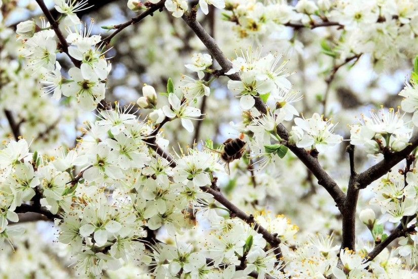 Flowers Blossoms Spring Blossom Apple Wallpaper Nature Pictures Desktop