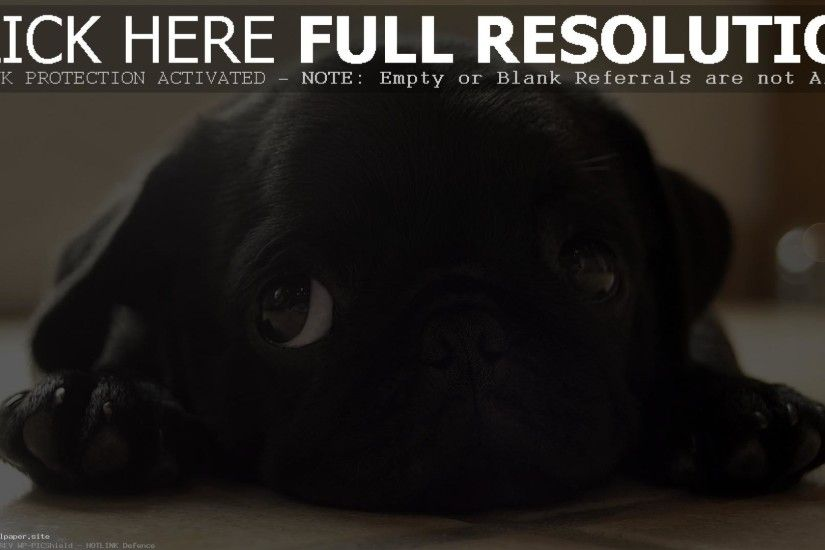 Best Black Pug Puppy Wallpaper