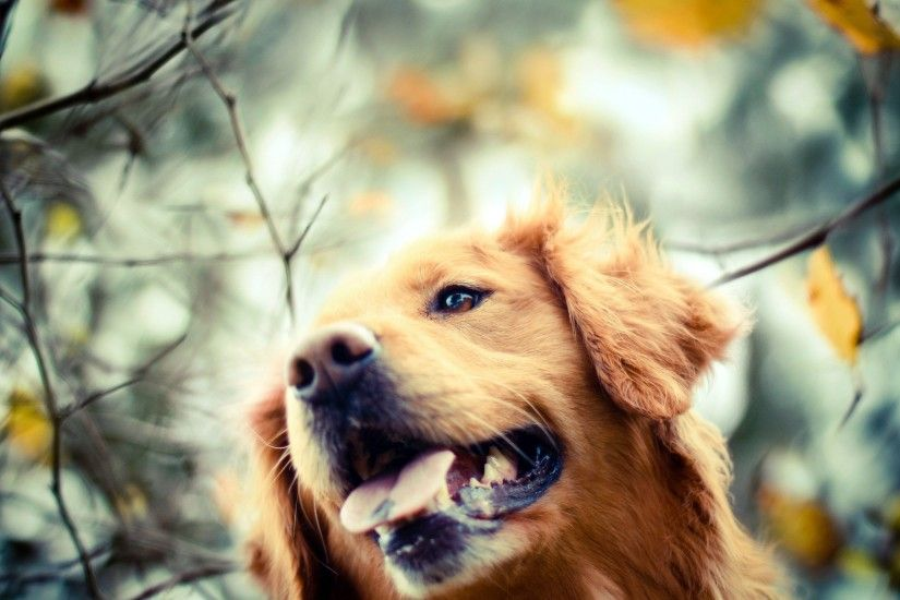 Golden Retriever Dog Wallpaper Background 49691