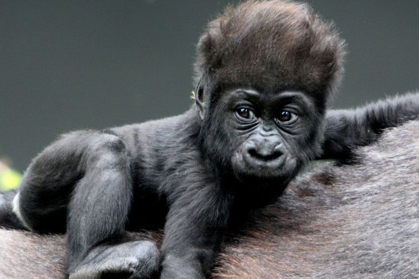 Preview wallpaper monkey, baby, gorilla, hair 1920x1080