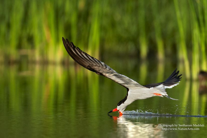 Black Skimmer. Wallpaper Size 1920x1200