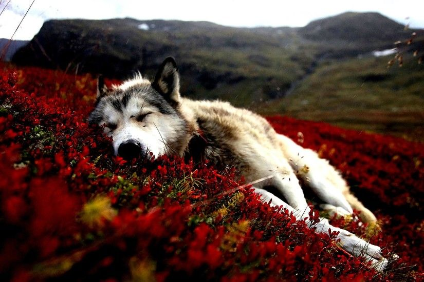 ... dog flowers red flowers animals sleeping siberian husky ...