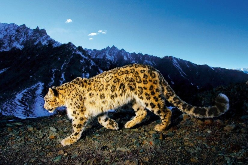 Artistic Snow Leopard Wallpapers - Apple Scene - Apps, iPhone, Mac .