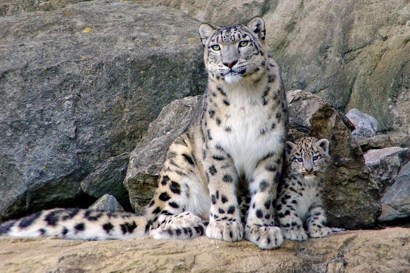 Snow Leopard Wallpaper Download Free Beautiful High Resolution