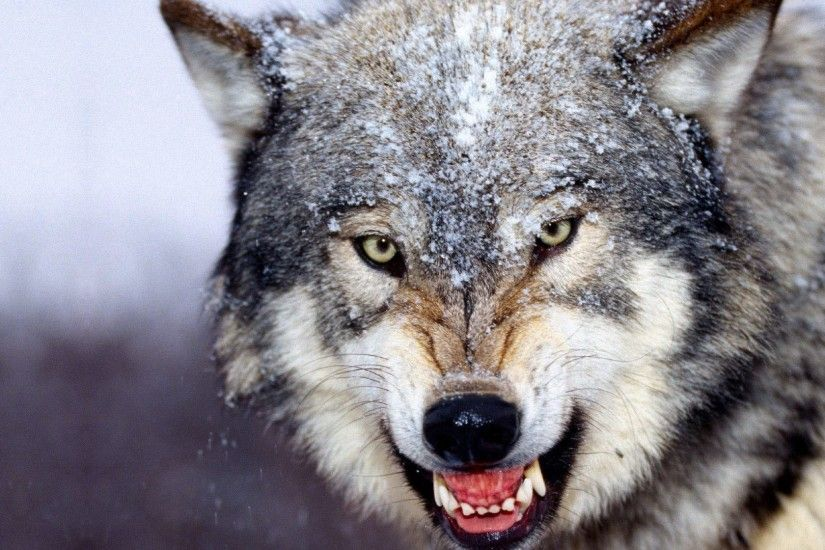 Photo: HD Wolf Wallpapers, by Sibyl Rollinson