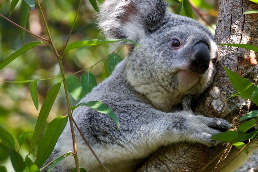 Grey Koala Bear wallpaper - Click picture for high resolution HD wallpaper