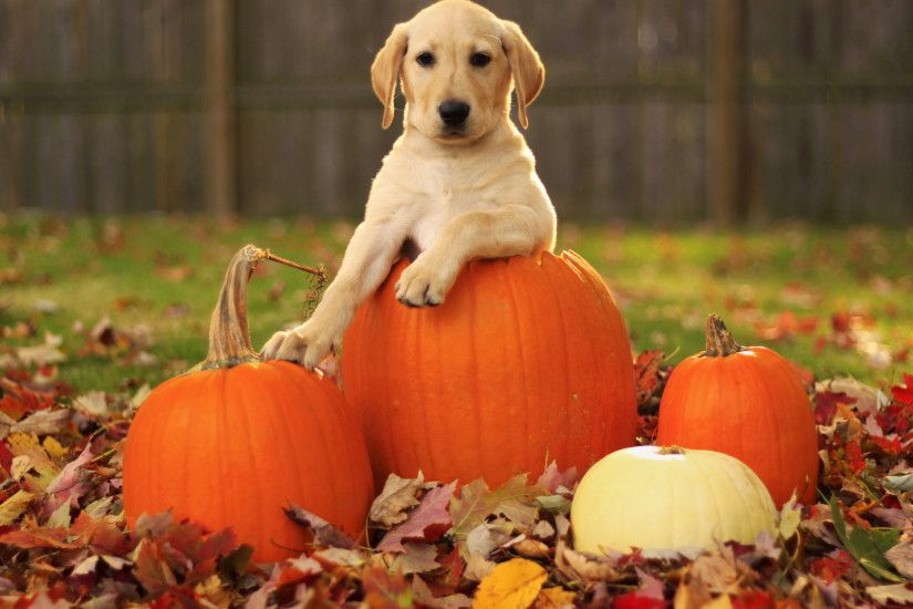 Autumn Free Wallpaper - A pumpkin and a..dog is a great wallpaper for
