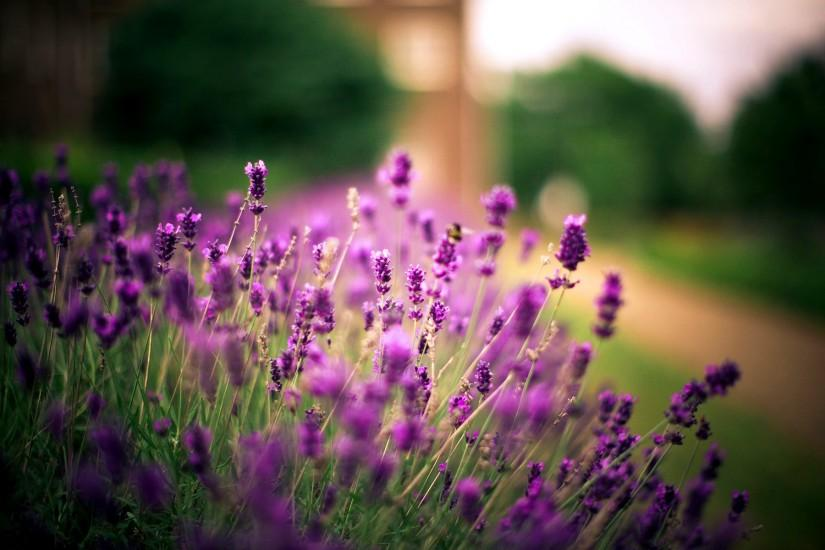 lavender wallpaper 1920x1200 meizu