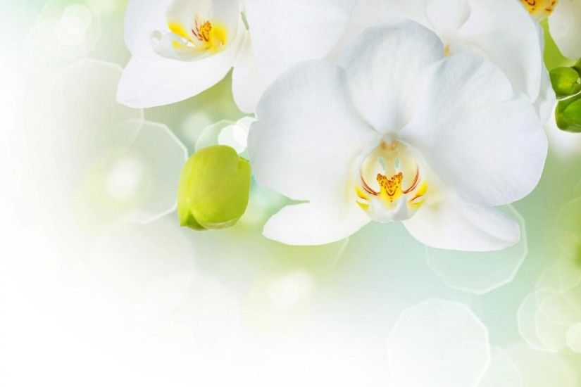 Beautiful White Orchid Flower Wallpaper