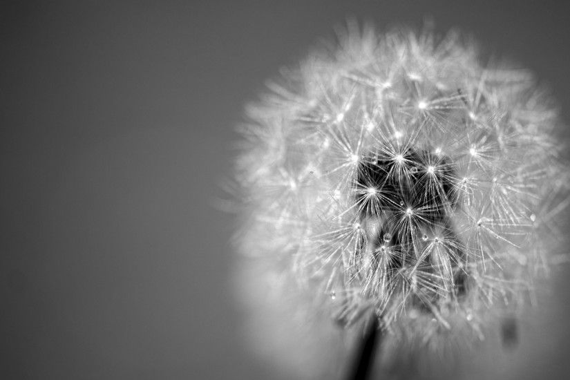Dandelion Black and White HD Wallpaper