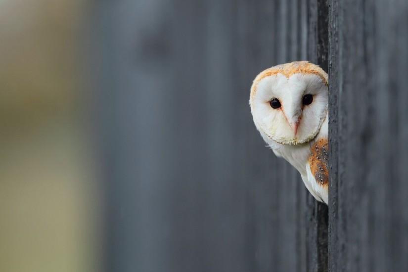Wallpaper bird, owl, white, background wallpapers animals - download