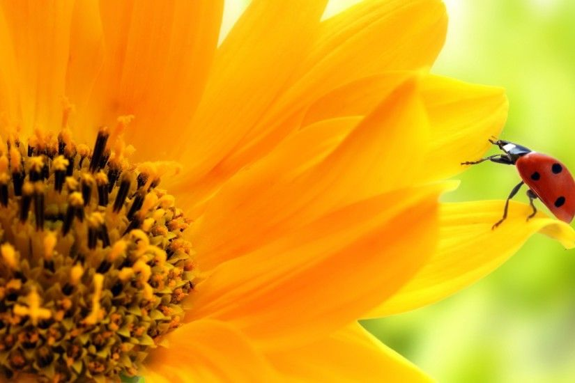 Sunflower Wallpaper Hd · Sunflower Wallpapers Widescreen For Desktop  Wallpaper ...