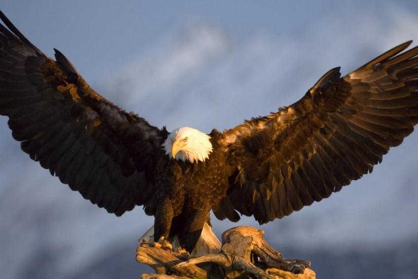 Bald Eagle HD Wallpapers 1