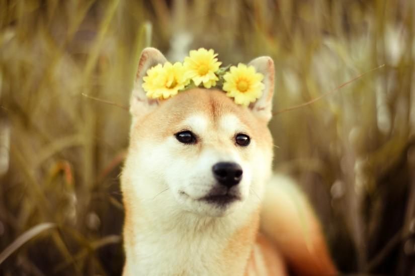 Daisy Doge, With the flowers in your hair