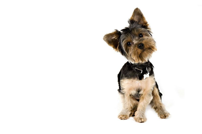 Curious Yorkshire Terrier wallpaper - Animal wallpapers - #21318