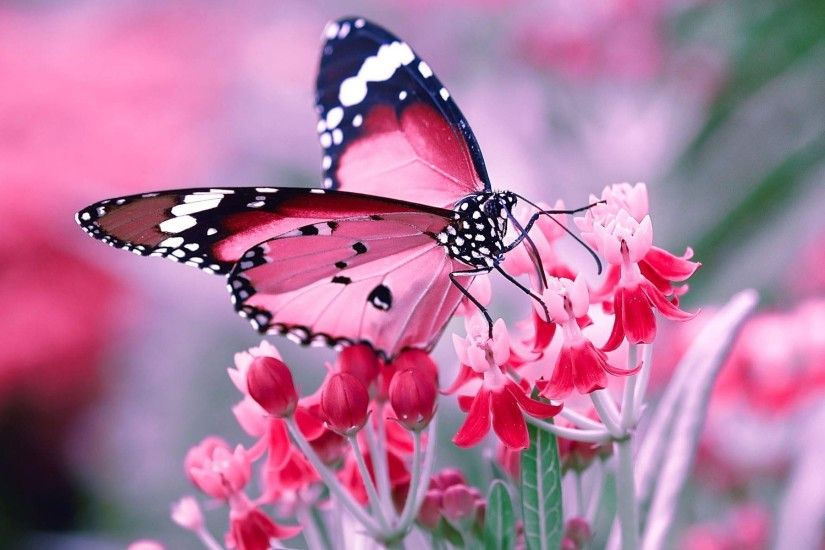Pink and black butterfly on flowers