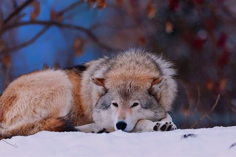 Preview wallpaper wolf, snow, lying, cold, forest, trees 1920x1080