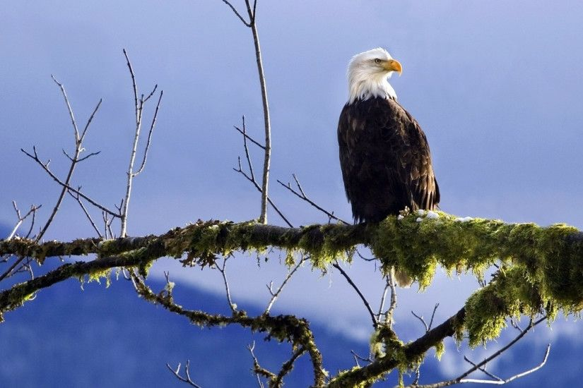 Preview wallpaper bald eagle, branch, moss 3840x2160