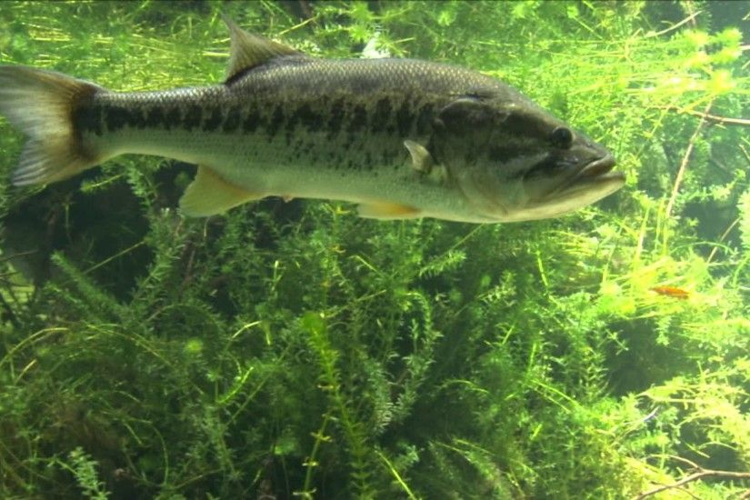 Largemouth Bass Underwater - Viewing Gallery