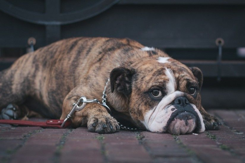 1920x1080 Wallpaper english bulldog, dog, muzzle, lying