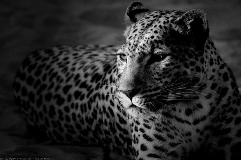 Black And White HD Animal Wallpapers