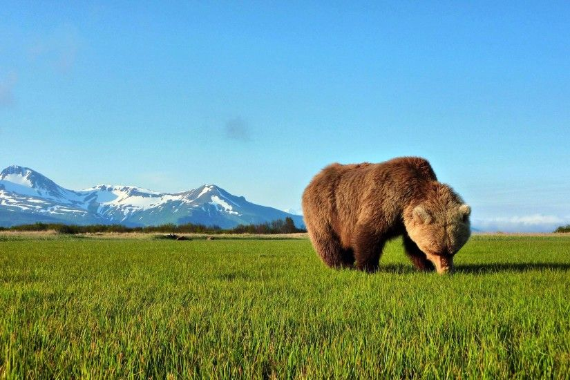 Wallpapers For > Brown Bear Wallpaper