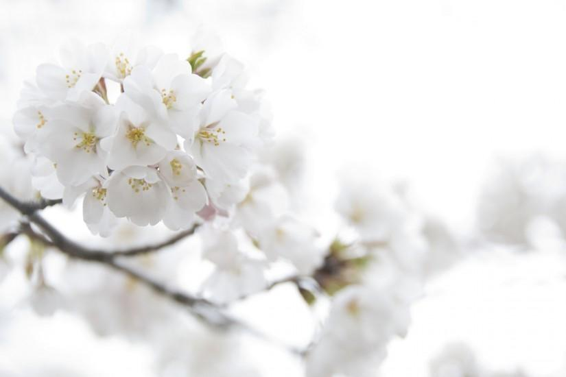 Wallpapers For > Wallpapers Of White Flowers