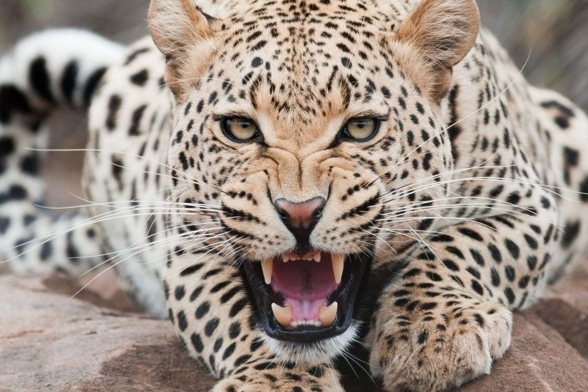 Free download images cheetah wallpapers HD.
