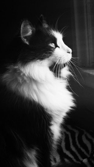 Black And White Fluffy Cat Looking Out The WIndow Android Wallpaper ...